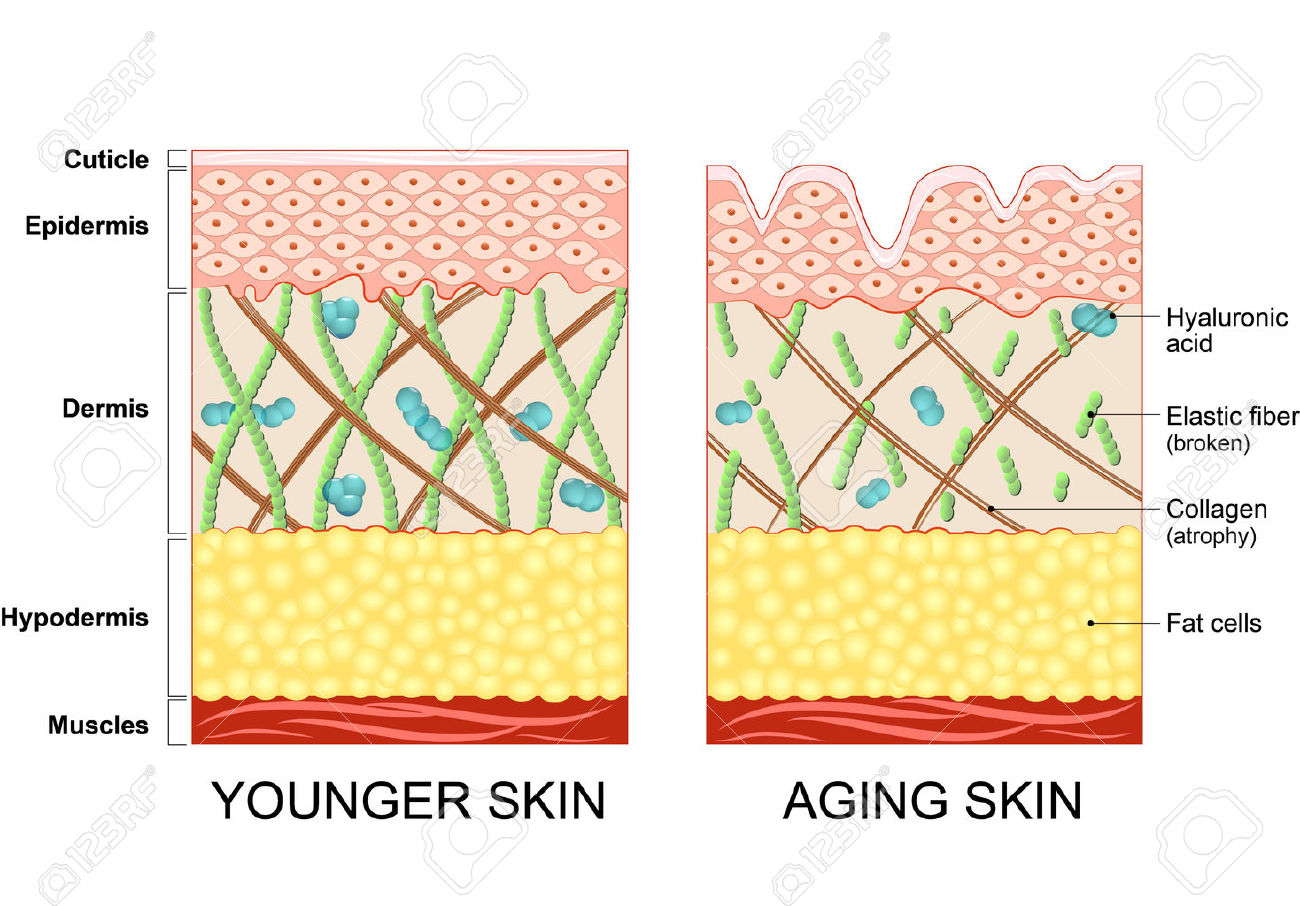 55495722-younger-skin-and-aging-skin-elastin-and-collagen-A-diagram-of-younger-skin-and-aging-skin-showing-th-Stock-Vector